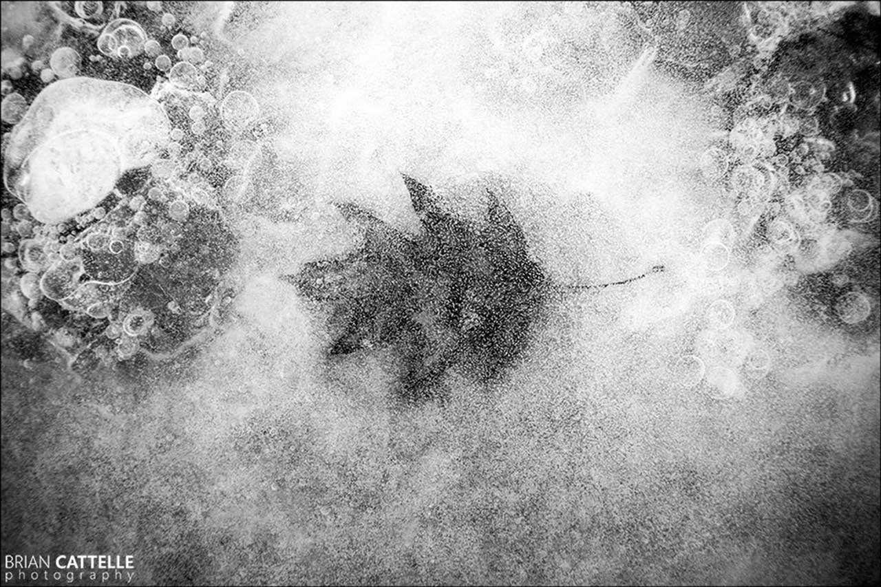 Brian Cattelle Fine Art Black and White Photography Frozen Leaf Study 01